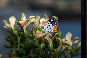 Photo of On the ledge: life goes on for butterflies in Mumbai – in pictures