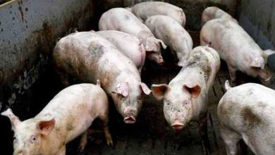 Photo of PHL detects 72 new ASF outbreaks; more than 33,000 hogs culled