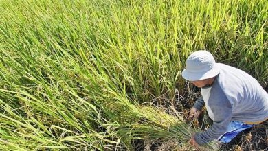 Photo of Farmers bring in P5.57B worth of palay and corn ahead of Storm Ulysses