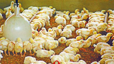 Photo of Philippines bans poultry imports from Poland