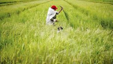 Photo of Lower levels of pesticide, heavy metals found in domestically-produced rice