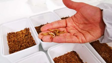 Photo of Yellow grub becomes EU's first insect food